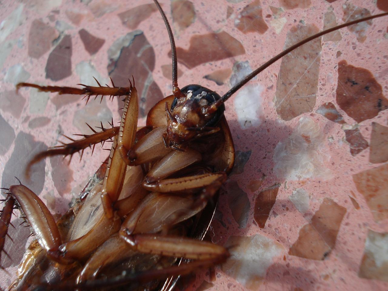 Chinesische Kakerlaken als Wundermittel gegen Krankheiten