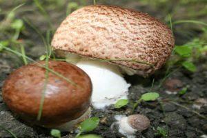 Vitalpilze - nachhaltig gesund mit Reishi und Co.-.