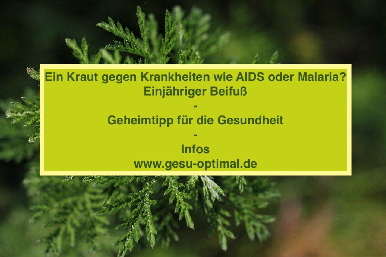 Einjähriger Beifuß - Artemisia Annua für die Gesundheit